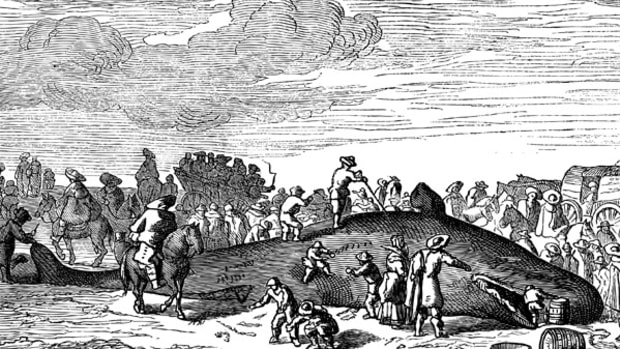 Beached whale. - Drawing Bocourt, after a print of the collectio