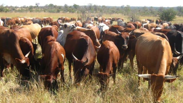 cattle-pasture
