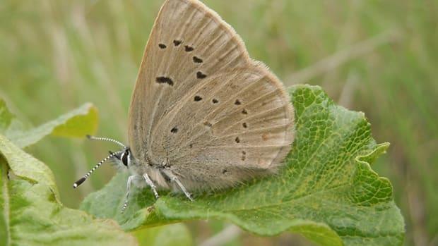 fenders-butterfly