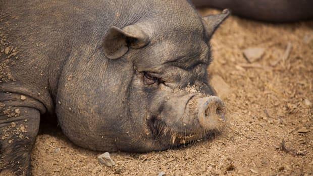 large-pig