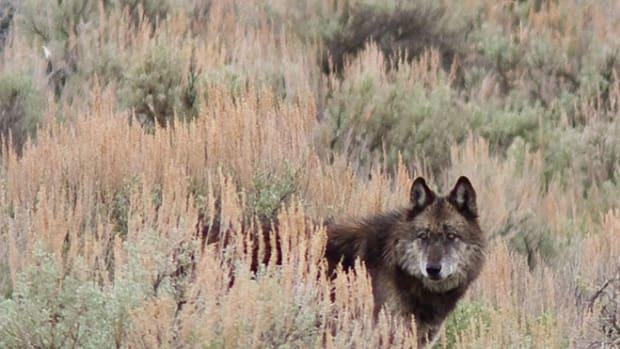 yellowstone-wolf