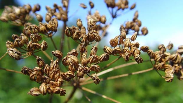 hemlock-seeds