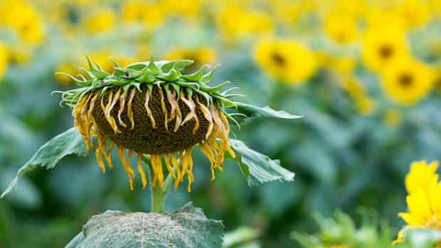 sick-sunflower