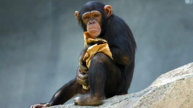 chimppp