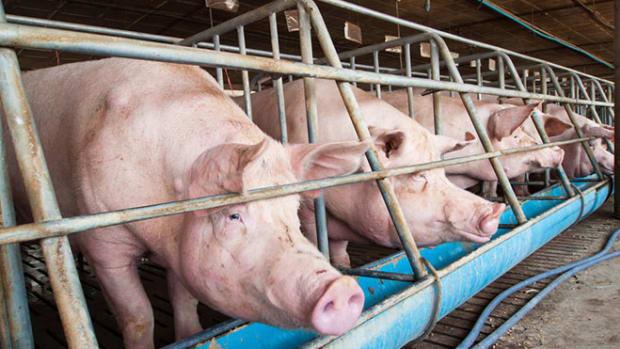 pig-farming