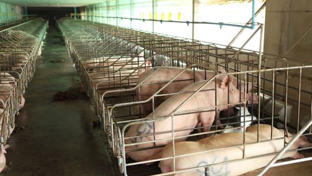 pig-breeding