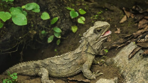 homecoming_tuatara