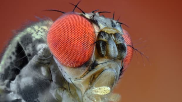 fruit-fly-1