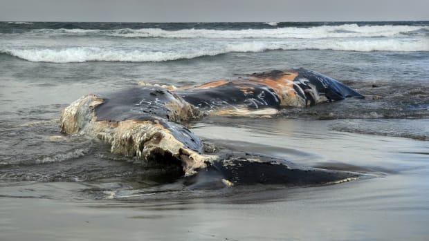 A_dead_whale_at_Ocean_Beach.jpg