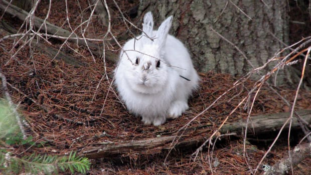 showshoe-hare-2.jpg