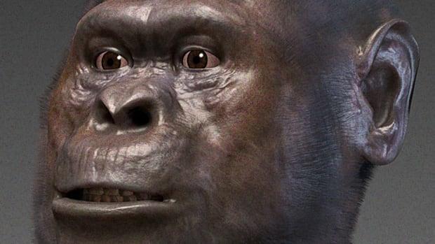 Australopithecus_afarensis.png