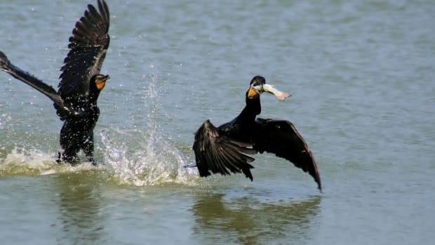 Two_Phalacrocorax_auritus_and_one_fish_edit.jpg