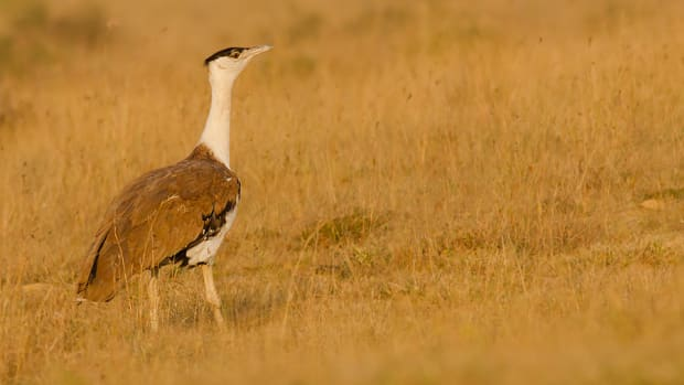 Great_Indian_bustard.jpg