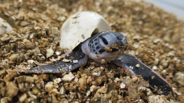 baby sea turtle.jpg
