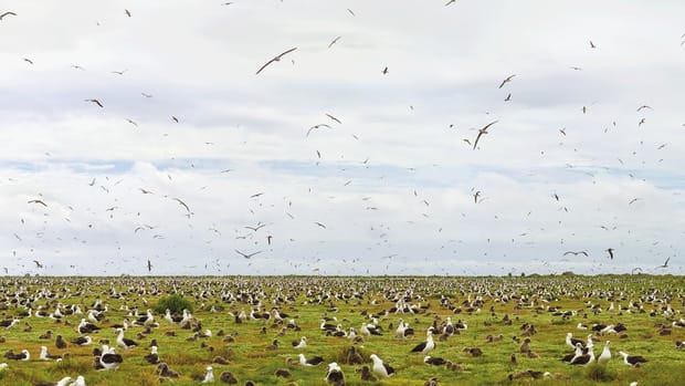 Before young Laysan albatrosses can leave Midway, the remote atoll where most of them grow up, they must literally purge their infancy. But thousands, handicapped by a diet of plastic from the Great Pacific Garbage Patch, find themselves unable to ever leave the ground.