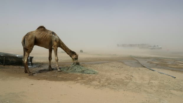 A camel is seen in a desert area on the Qatari side of the Abu Samrah border crossing between Saudi Arabia and Qatar, on June 20th, 2017.