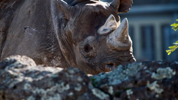 A female black rhino. Poaching and habitat loss caused the species' population to plummet in the 1970s and '80s, and it remains critically endangered.