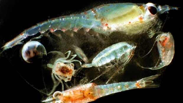 A variety of zooplankton organisms.
