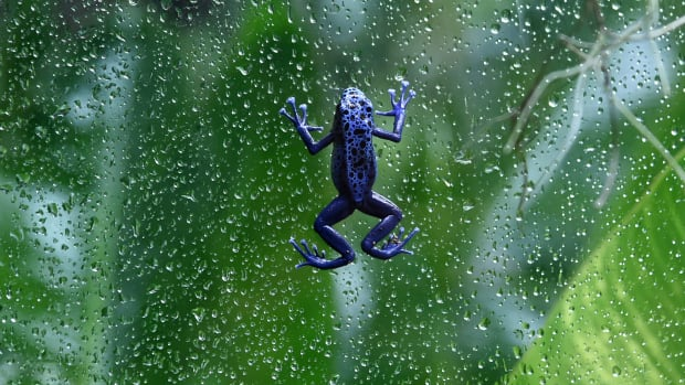 A frog climbing a glass wall.