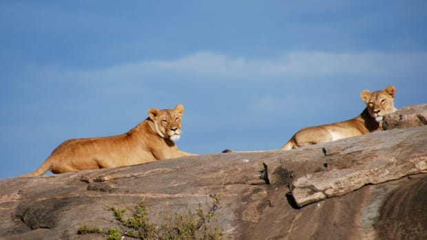 The population of African lions has declined by 43 percent since 1993.