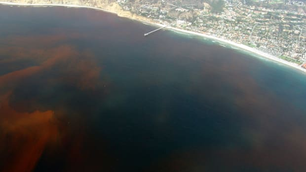 Dead zones are often caused by the decay of algae during algal blooms, like this one off the coast of San Diego, California.