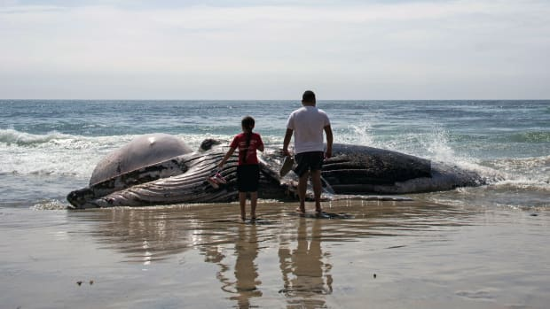 People look at a dead grey whale washed ashore at Maria Martha beach on September 12th, 2017, in the Rosarito, Baja California state of Northwestern Mexico.