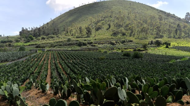 View of nopal plantations on the slopes of the extinct Teuhtli volcano in Milpa Alta borough, Mexico City. on August 3rd, 2017.