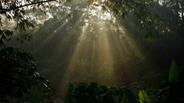 Morning light shines through trees at the forest in Karak, in the suburbs of Pahang outside Kuala Lumpur.