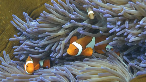 Fish swim through the coral on Australia's Great Barrier Reef.