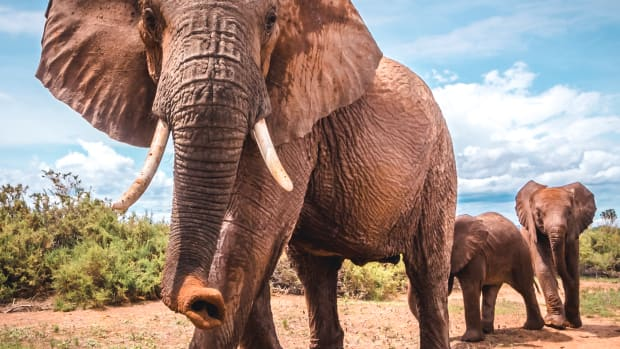 Elephants can communicate over long distances with low-frequency rumbles called infrasound.