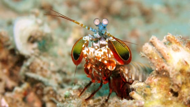 A peacock mantis shrimp.