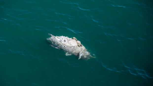 A dead and decomposing totoaba sea bass floats on the surface of the Sea of Cortez.