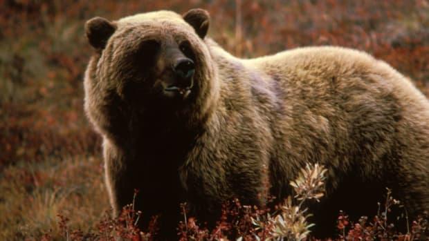 1024px-Grizzlybear55