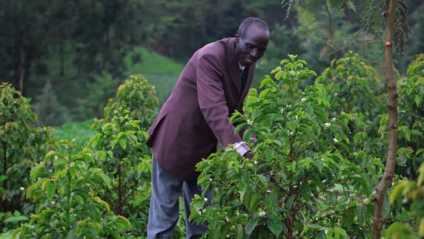 Cherangani farmer Kongolel Masai Kangonyei with his intercropped coffee trees.