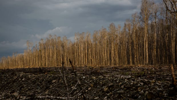 A view of dead trees affected by gold mine waste, known as tailings, in Timika, Papua Province, Indonesia.