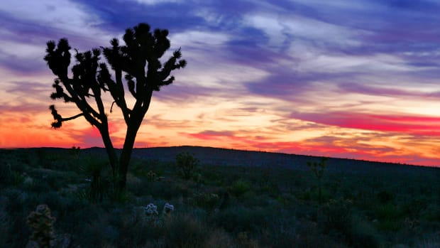 A Joshua tree stands in the Mojave Desert.