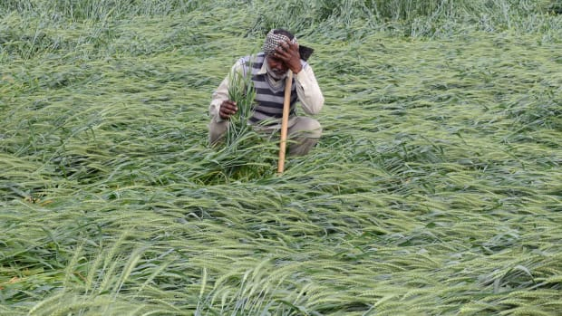 An Indian farmer checks his wheat crop that was damaged in heavy rain on the outskirts of Amritsar on March 21st, 2018.