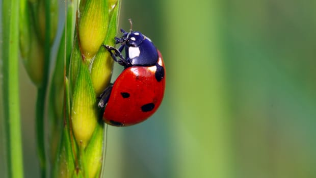 Lady beetle.