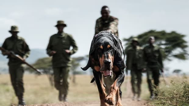 Kenyan ranger of the canine unit Maseto Sampei holds his bloodhound during their trace training in the Mara Triangle, the northwestern part of Masai Mara National Reserve managed by non-profit organization Mara Conservancy.