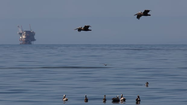 An oil platform sits in the distance as California brown pelicans fish in oil-contaminated water from an inland oil spill near Refugio State Beach on May 20th, 2015, north of Goleta, California.