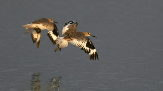 Willets fly over the Los Cerritos Wetlands.