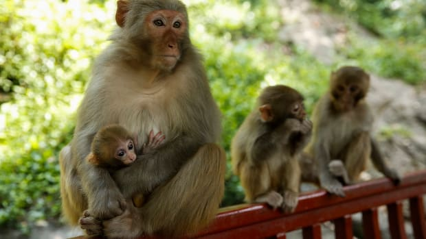 A macaque mother with her baby sits together with an other macaque on the hill at Qianling Park.