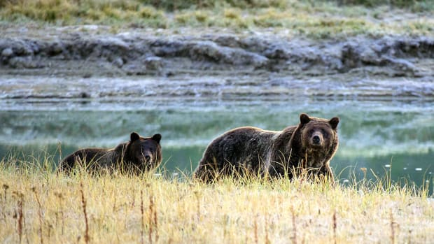 A grizzly bear mother and her cub walk near Pelican Creek in the Yellowstone National Park in Wyoming.