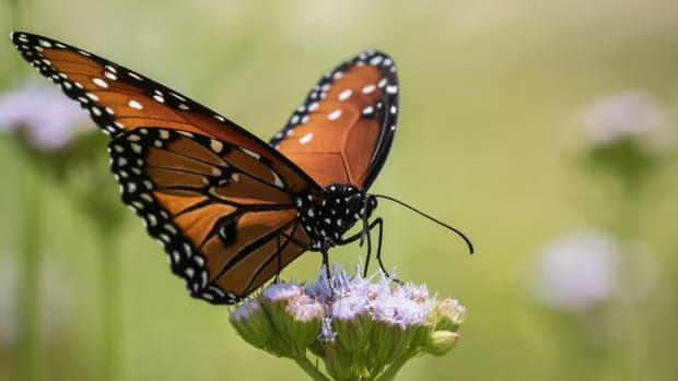 A butterfly at the National Butterfly Center in Mission, Texas.