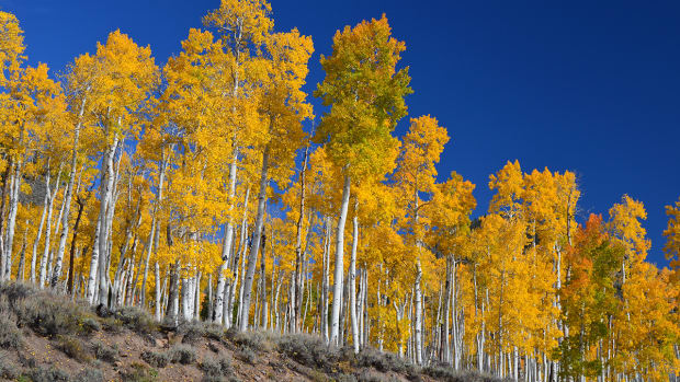 The Pando clone stands above Scenic Byway Utah-25 in Fishlake National Forest, Utah.