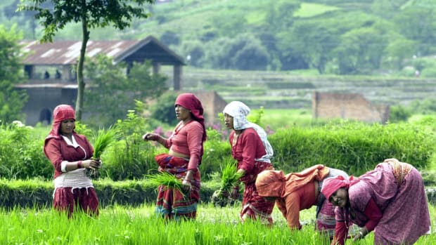 Nepalese woman farmers collect rice paddy seedlings for cultivation.