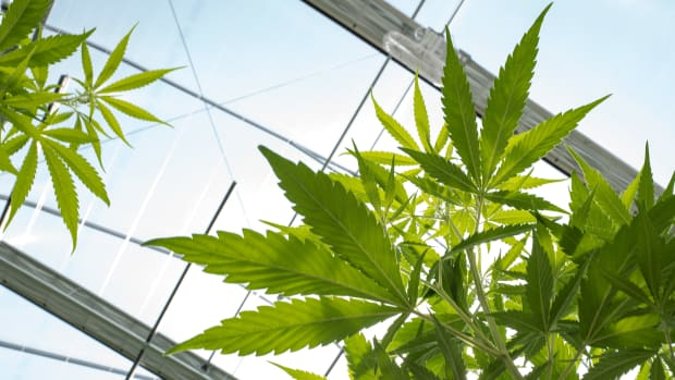 Cannabis plants grow in a greenhouse.
