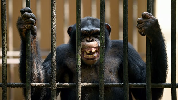 An African chimpanzee grimaces in a cage at a zoo in Dehiwala near Colombo, Sri Lanka, on March 3rd, 2016, on World Wildlife Day.
