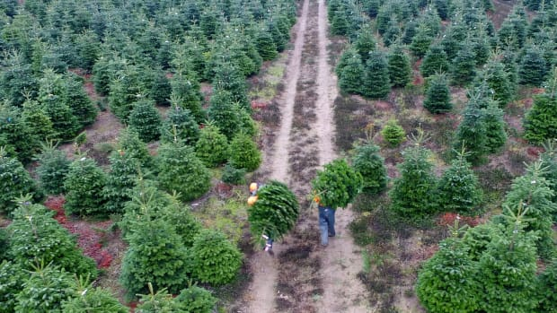 Two men carry freshly cut conifers to be used as Christmas trees at the Gut Kuehren plantation in Kuehren near Kiel, northern Germany, on November 9th, 2018.