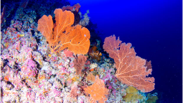 Mesophotic reefs have a variety of soft corals and sponges.